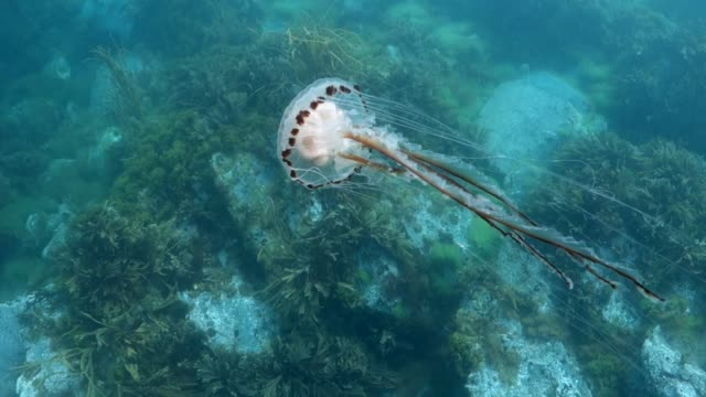 compass jellyfish swimming above sea weed. - english channel stock videos & royalty-free footage