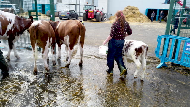 competitors prepare animals ahead of the royal highland show on june 19 2019 in edinburghin scotland the show which is held at ingliston starts... - agriculture stock videos & royalty-free footage