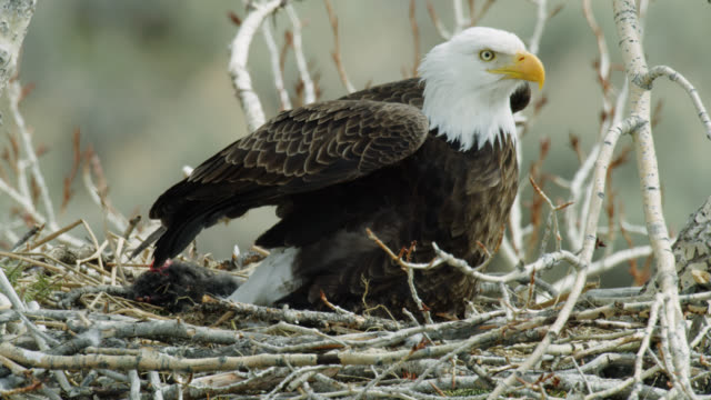 compilation of a bald eagle mother feeding her chicks - bird of prey stock videos & royalty-free footage