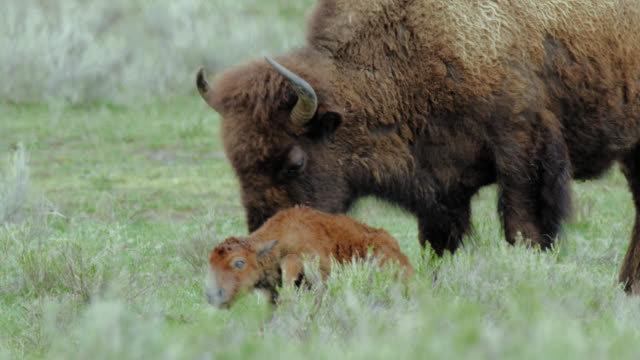compilation of a bison giving birth - wyoming stock videos & royalty-free footage