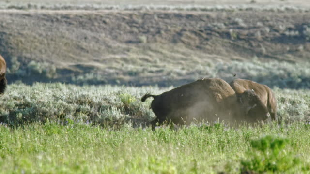 compilation of a bison herd fighting and socializing in a meadow next to the river - wyoming stock videos & royalty-free footage