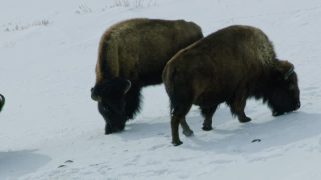 vídeos de stock e filmes b-roll de compilation of a bison herd grazing in the snowy landscape - bisonte americano