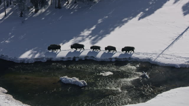 compilation of a bison herd walking along the firehole river - american bison stock videos & royalty-free footage