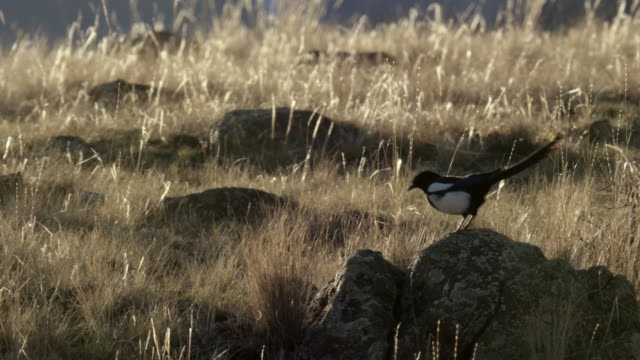 compilation of a black-billed magpie perching on the top of a tree and hopping on rocks - elster stock-videos und b-roll-filmmaterial