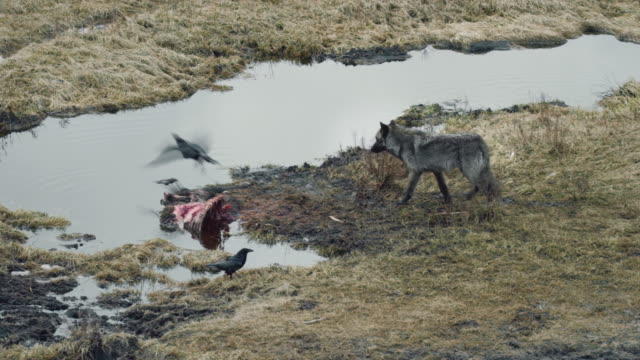 compilation of a blacktail wolf approaching a carcass and feeding on it - wyoming stock videos & royalty-free footage