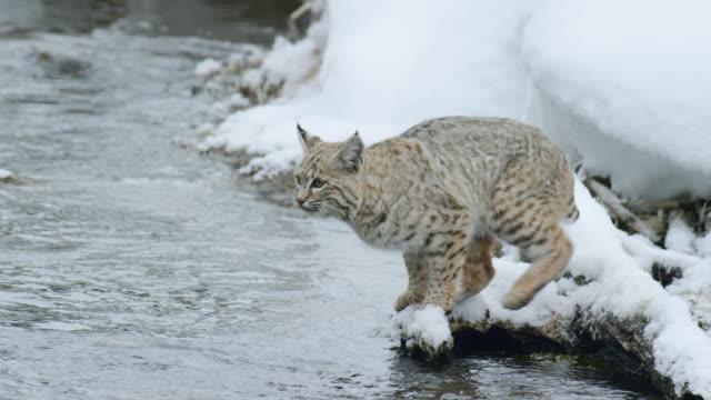 vidéos et rushes de compilation of a bobcat jumping across the river - lynx