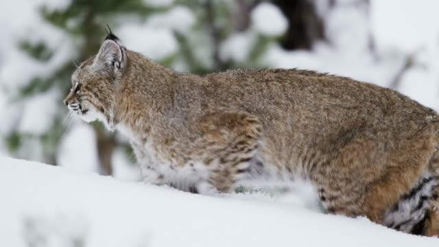 vidéos et rushes de compilation of a bobcat walking in the snow - lynx