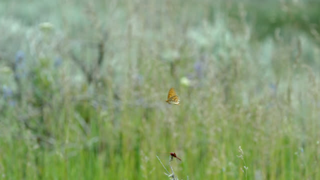 compilation of a butterfly flying and a dragonfly grabbing an insect in mid-air - wyoming stock videos & royalty-free footage