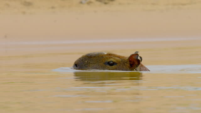 compilation of a capybara entering and swimming in the river - rodent stock videos & royalty-free footage