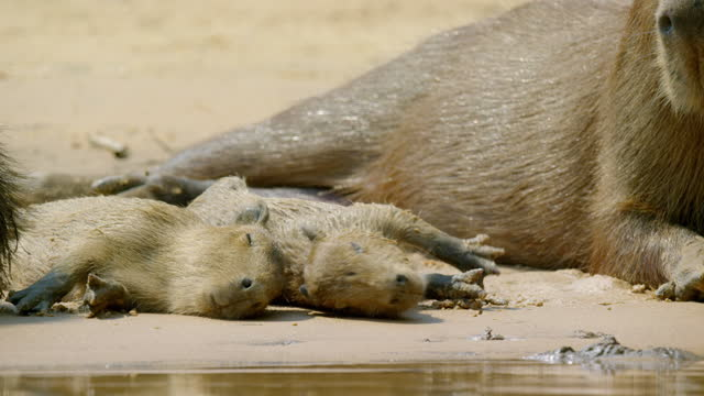 compilation of a capybara family resting on the riverbank - rodent stock videos & royalty-free footage