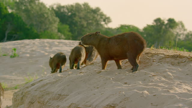 compilation of a capybara walking on the sandy riverbank - rodent stock videos & royalty-free footage