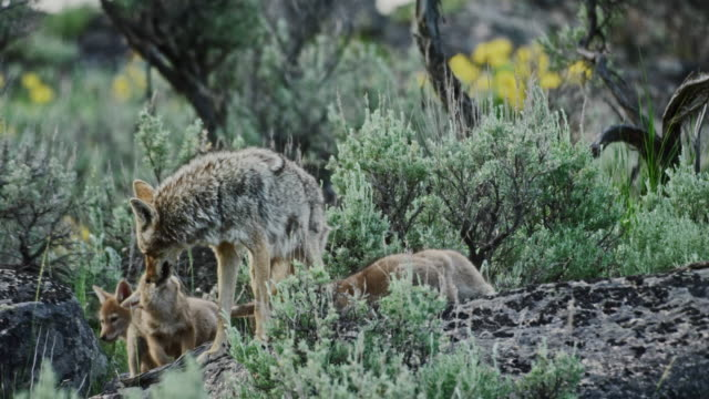 compilation of a coyote mother with four pups and two coyote pups playing - yellowstone nationalpark stock-videos und b-roll-filmmaterial