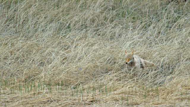 compilation of a coyote running past the cranes and walking in the tall grass - ハゴロモガラス点の映像素材/bロール