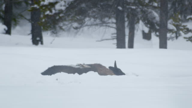 compilation of a dead bison in the snowy meadow - mourning stock videos & royalty-free footage