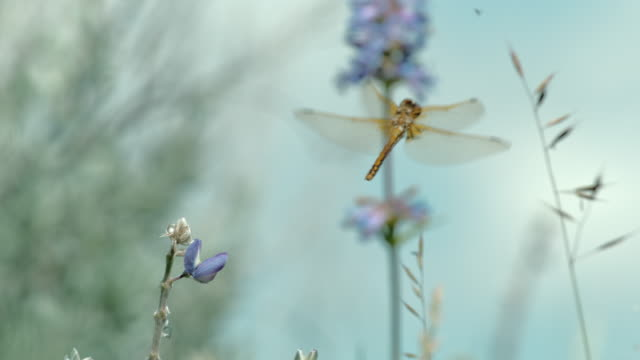 compilation of a dragonfly catching an insect and flying above the meadow - dragonfly stock videos & royalty-free footage