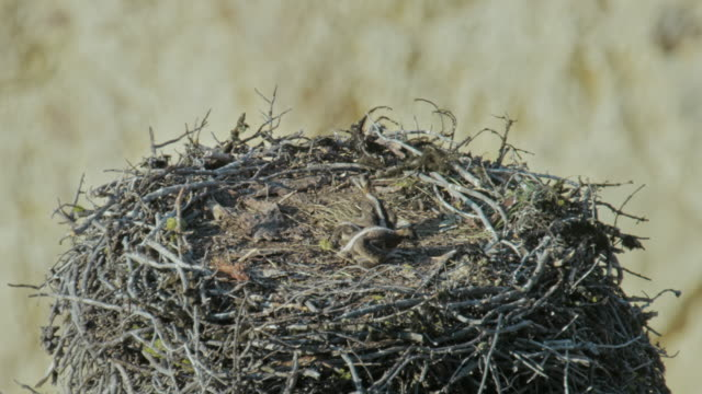 compilation of a female osprey on the nest with chicks and a male landing on it - bird of prey stock videos & royalty-free footage