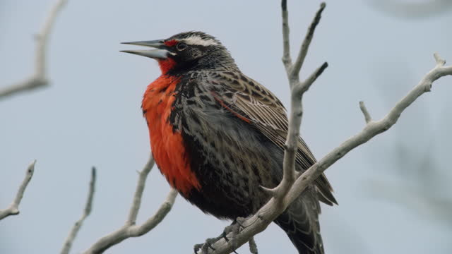 compilation of a forest and a long-tailed meadowlark perching on the branch then taking flight - beak stock videos & royalty-free footage