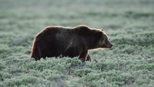 vidéos et rushes de compilation of a grizzly mother and cubs in the meadow - mammifère