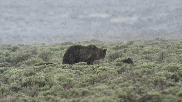 compilation of a grizzly mother and cubs walking in the snowfall - wyoming stock videos & royalty-free footage