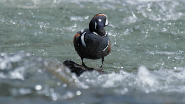 compilation of a harlequin duck standing on a rock and jumping into the river - river yellowstone stock videos & royalty-free footage