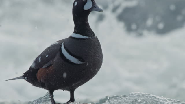compilation of a harlequin duck standing on a rock in the river - river yellowstone stock videos & royalty-free footage