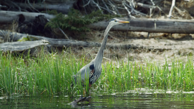 compilation of a heron fishing and walking along the river - heron stock videos & royalty-free footage