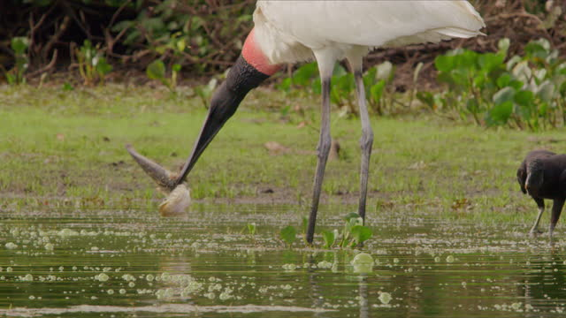 compilation of a jabiru trying to eat a fish on the edge of the lake - bird of prey stock videos & royalty-free footage