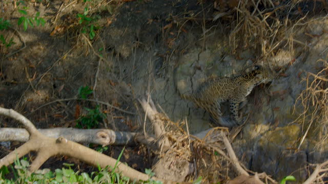 compilation of a jaguar walking and climbing up the steep riverbank - south america stock videos & royalty-free footage