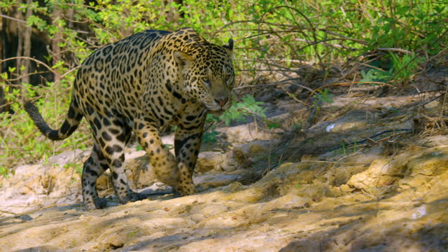 compilation of a jaguar walking on the riverbank - reed grass family stock videos & royalty-free footage
