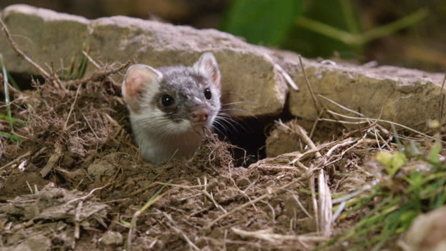 vidéos et rushes de compilation of a long-tailed weasel coming out of the burrow - terrier création animale