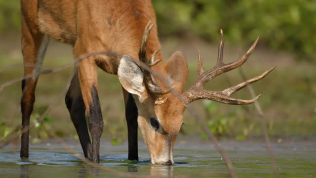 compilation of a marsh deer looking around and drinking from the lake - deer stock videos & royalty-free footage