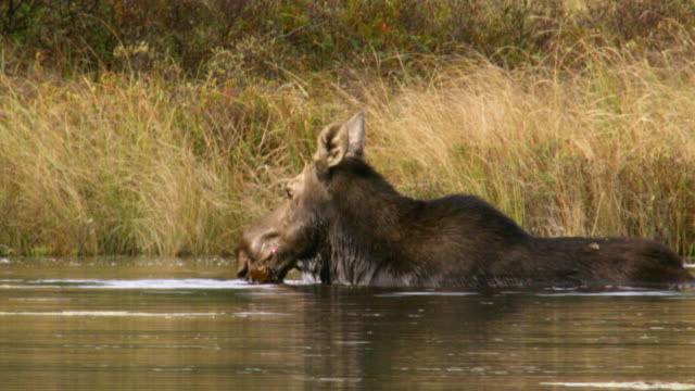 compilation of a mother moose and a calf bathing in the mississippi river - reed grass family stock videos & royalty-free footage