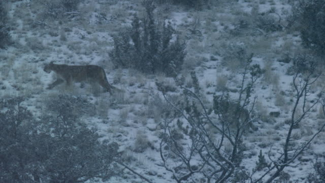 compilation of a mother mountain lion and kitten walking up on a snow-covered hillside - セージブラッシュ点の映像素材/bロール