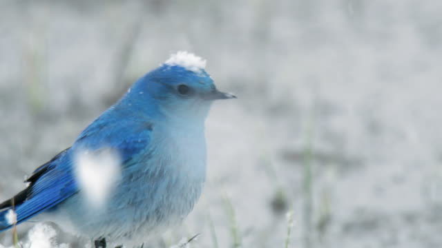 compilation of a mountain bluebird flying off from a stick and a bluebird perching in the snow - winter stock videos & royalty-free footage