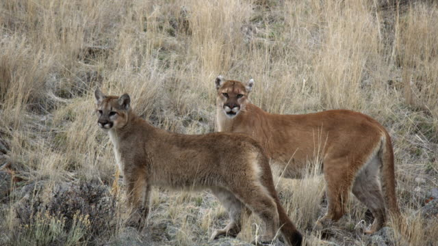 compilation of a mountain lion stalking and watching with a kitten - mountain lion stock videos & royalty-free footage