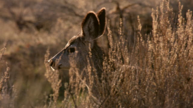 compilation of a mule deer walking in a sagebrush meadow - produced segment stock videos & royalty-free footage
