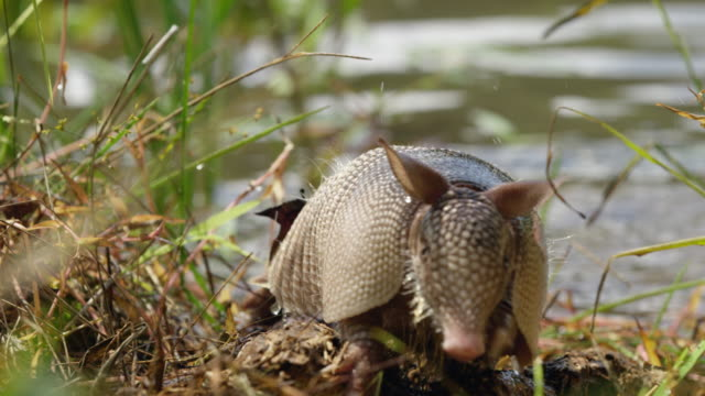 compilation of a nine-banded armadillo swimming along the edge of the water and shaking off and walking into the reeds - swamp stock videos & royalty-free footage