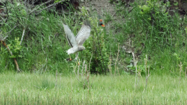 compilation of a northern harrier hunting above the long grass - hovering stock videos & royalty-free footage