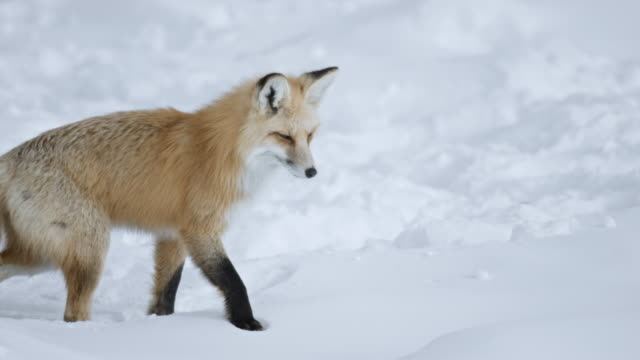 compilation of a red fox preparing for a hunt and pouncing headfirst into the deep snow - land stock videos & royalty-free footage