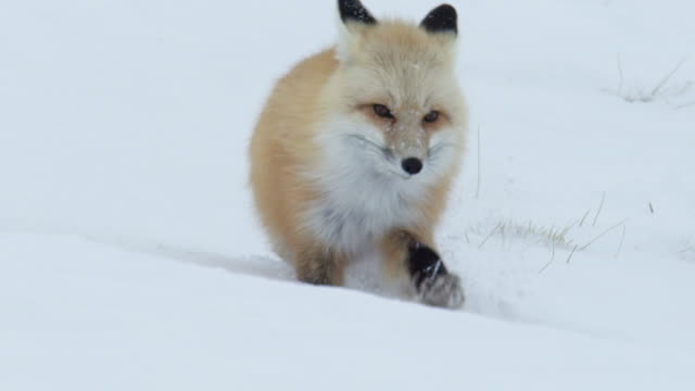 compilation of a red fox walking and sliding in the deep snow - messing about stock videos & royalty-free footage