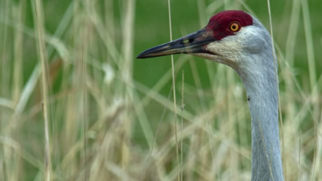 compilation of a sandhill crane looking around and a red-winged blackbird pestering a sandhill crane in the reeds - animal mouth stock videos & royalty-free footage