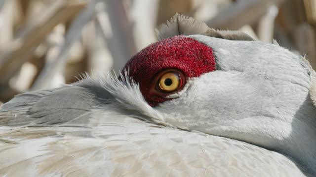 compilation of a sandhill crane sitting on the nest - bird's nest stock videos & royalty-free footage