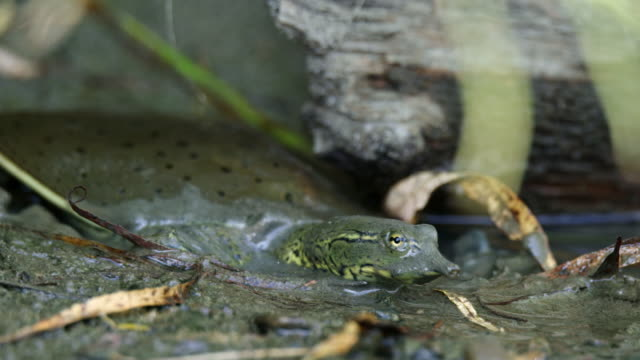 compilation of a softshell turtle getting into the river and swimming underwater - animal neck stock videos & royalty-free footage