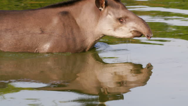 compilation of a tapir wading across the lake and shaking off the water - herbivorous stock videos & royalty-free footage