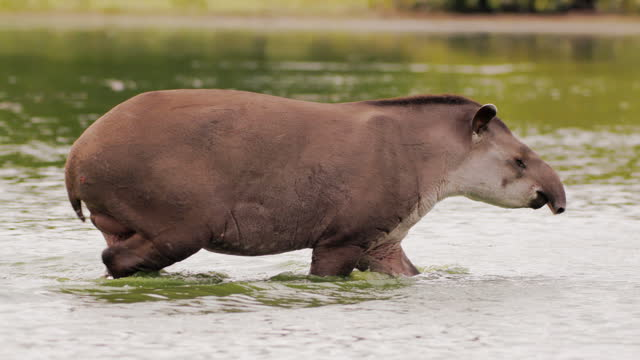 compilation of a tapir wading across the lake - herbivorous stock videos & royalty-free footage