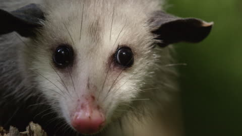 compilation of a virginia opossum climbing down from a broken tree trunk - 有袋類点の映像素材/bロール
