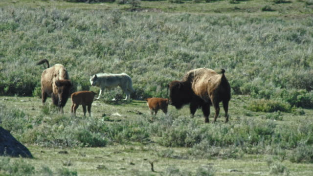 compilation of a wolf approaching a bison calf - protection stock videos & royalty-free footage