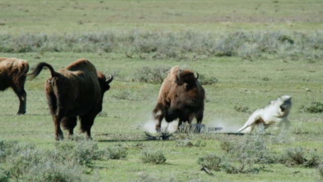compilation of a wolf approaching a bison herd and biting a bison and running away - moving after stock videos & royalty-free footage