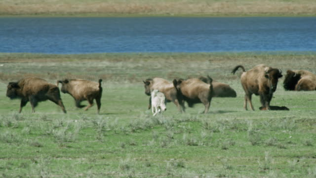 compilation of a wolf pack hunting for bison - wyoming stock videos & royalty-free footage