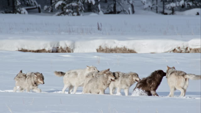 compilation of a wolf pack socializing - yellowstone national park stock videos & royalty-free footage
